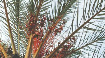 Rosy Love Coconut Massage Oil